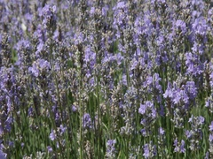 Wind blowing through a beautiful lavender field in bloom on a summer day Stock Footage