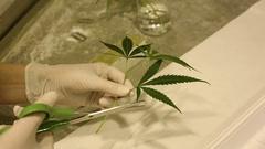 Woman research scientist medical cannabis cultivation growth, marijuana hemp Stock Footage