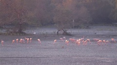Flamingos filter feeding next to the mangroves Stock Footage