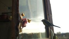 Bird Titmouse Eats Bread and Lard on a Wooden Window Sill. Slow Motion Stock Footage