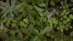 Closeup Birds Eye View Of Rows Of Succulents In Market, Camera Moves Over Rows Stock Footage