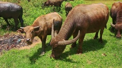 Bulls Flock Grazes on Green Tropical Meadow on Daytime Stock Footage
