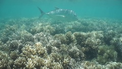 Fish giant trevally Caranx ignobilis underwater Stock Footage