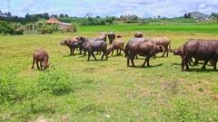 Bulls Flock Grazes on Green Grass against Village Stock Footage