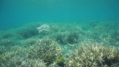 Sea turtle swims above a coral reef Pacific ocean Stock Footage