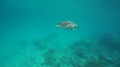 Underwater green sea turtle below water surface Stock Footage