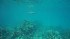 Underwater whitetip reef shark below surface Stock Footage