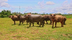 Bulls Flock Look and Go away on Green Grass against Village Stock Footage
