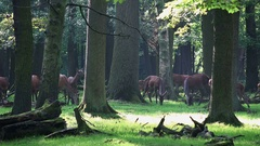 4k Red Deers horde in oak and beech forest close up Stock Footage