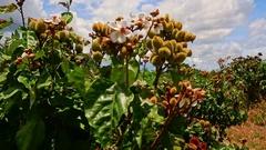 Closeup Rambutan Flowers on Large Bush in Blossom Stock Footage