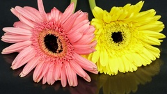 Purple and yellow gerbera flowers withering time lapse Stock Footage