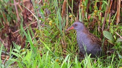 Water Rail. Adult. Stock Footage