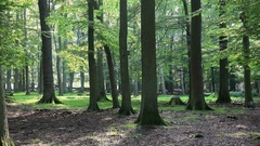 4k Red Deers horde in the deep of an oak and beech forest Stock Footage