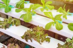 Organic hydroponic vegetable in the cultivation farm Stock Photos