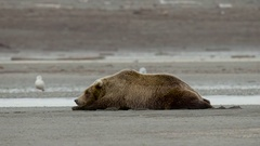 Grizzly Bear Sleeping Along Stream CLose UP Stock Footage