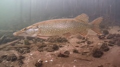 Underwater shot of pike Esox lucius.. Stock Footage