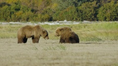 Two Grizzly Bears Mating dance and play fighting Stock Footage