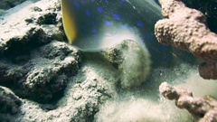 Bluespotted Ribbontail STINGRAY in the Red Sea Stock Footage