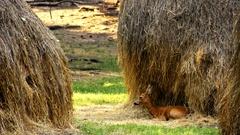 Roe Deer in the wild Stock Footage
