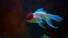 Red And White Oranda Goldfish Against Air Bubble Curtain In Home Aquarium Stock Footage