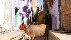 Cow in Jaisalmer, India Stock Footage