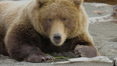Close Up Of Grizzly Bears Face Lying On Ground Stock Footage
