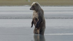 Grizzly Bear Standing Upright In Water Stock Footage