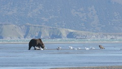 Grizzly Bear Standing With Seaguls with Mountain Background Stock Footage