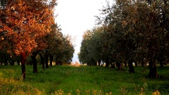 Olive trees, Rome countryside, Italy, Right pan, Contrast Color Stock Footage