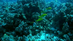 Broomtail Wrasse - Cheilinus lunulatus swims near coral reef Stock Footage