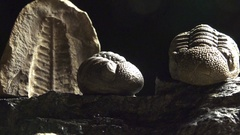 Rock fossils, Prehistoric life forms trilobites and phacops and trilobites Stock Footage
