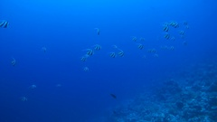 A large flock of Schooling Bannerfish - Heniochus diphreutes swimming in blue Stock Footage