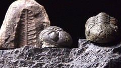 Plants and animals, Prehistoric life forms trilobites and phacops and trilobites Stock Footage