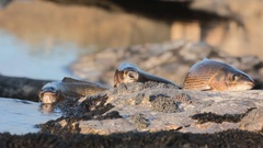 Three caught  grayling on background of small roll Stock Footage