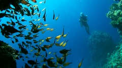 Scuba diver watches the large school of school of fish Vanikoro Sweeper   Stock Footage