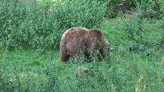 4k Brown Bear walking in a green grassy forest landscape Stock Footage