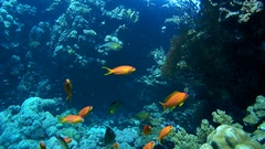School of fish a bright orange orange Sea goldie - Pseudanthias squamipinnis Stock Footage