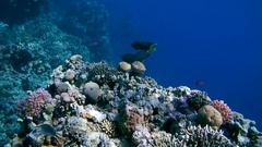Three fish Brownspotted Spinefoot - Siganus stellatus swim over coral reef Stock Footage