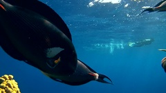 School of fish Sohal surgeonfish - Acanthurus sohal and Sergeant major   Stock Footage