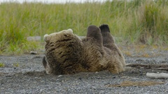 Large Grizzly Bear Struggles To Get Up Stock Footage