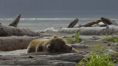 Medium Shot of Grizzly Bear Lying on Drift Wood Stock Footage