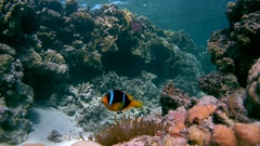 Red Sea clownfish - Amphiprion bicinctus floats near the anemone Stock Footage