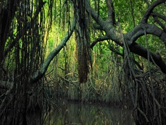 Tropical adventure background of scenic mangrove forest tree, roots and branches Stock Footage