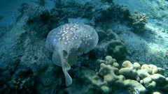 Panther Electric Ray - Torpedo panthera swims over a coral reef, is a sandbank Stock Footage