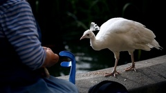 White elegant young peahen eating food from old lady's hands Stock Footage