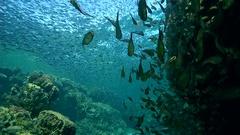 School of fishes Vanikoro Sweeper - Pempheris vanicolensis   Stock Footage