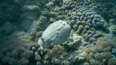 Panther Electric Ray - Torpedo panthera lying on the sand  Stock Footage