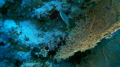 Tentacled flathead - Papilloculiceps longiceps swims near coral gorgonian seafan Stock Footage
