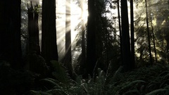 Sunbeams Through Redwood Forest Stock Footage