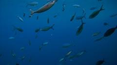 School of fish Lunar Fusilier - Caesio lunaris swim frightened Bluefin trevally Stock Footage